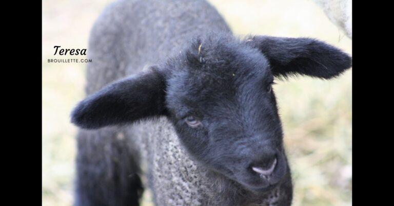 Wordless Wednesday – New Lamb